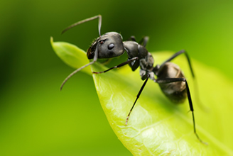 Lovely Black Ant   Chesterfield Pest Control